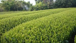 4月19日(土)茶畑①